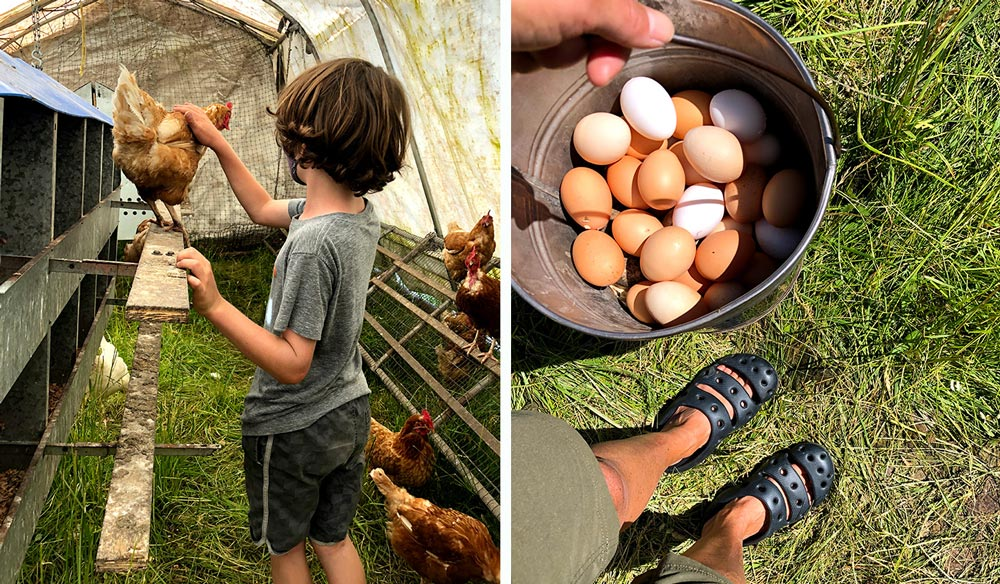 collecting farm fresh organic chicken eggs